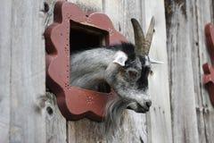 Peekaboo da cabra Foto de Stock Royalty Free