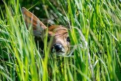 Peekaboo Deer. A young fawn peeking out through some grass Stock Photos