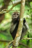 Peekaboo della scimmia Immagini Stock Libere da Diritti