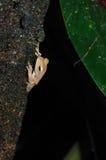 Peekaboo-Frosch Stockfoto