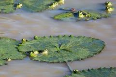 Peekaboo: Groene kikkers en leliestootkussens Royalty-vrije Stock Foto's