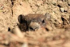 Peekaboo Groundhog Fotos de archivo libres de regalías