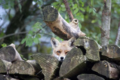Peekaboo: Hidden Red Fox (Vulpes vulpes). Peek-a-boo: Red Fox (Vulpes vulpes) hidden in the pile of firewood Stock Photo