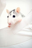 Peekaboo. Little rat looking at you Stock Images