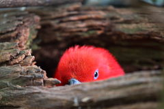 Peekaboo parrot. An Eclectus parrot hiding in its hollowed branch playing Peekaboo Stock Photos