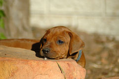 Peekaboo puppy Stock Image