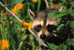 Peekaboo Raccoon Stock Image