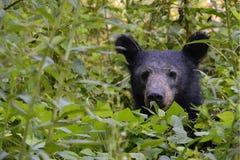 Peekaboo-schwarzer Bär Lizenzfreie Stockfotos