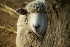 Peekaboo Sheep Royalty Free Stock Photography