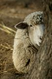 Peekaboo Sheep II Stock Images