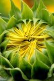 Peekaboo-Sonnenblume Stockfoto