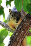 Peekaboo Squirrel royalty free stock photos