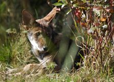Peekaboo wolf. Red wolf pup watching the world Royalty Free Stock Photos