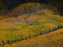 Peekabookabine, die in der goldenen Espenwaldung sich versteckt Lizenzfreie Stockfotos