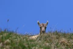Peeking козы ibex младенца Стоковые Изображения RF