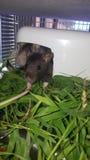 Peeking крысы младенца Стоковые Изображения