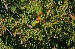 Peeking попугай Стоковые Фотографии RF