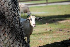 Peeking around the tree. A white goat peeking out from behind a tree Royalty Free Stock Images
