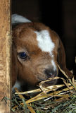 Peeking baby goat. A very young boer goat kid peeking out of the hay feeder stock photography