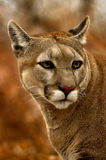 Peeking Cougar royalty free stock images