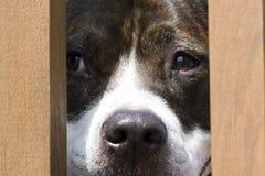 Peeking Dog. Pitbull looking through fence Stock Photos
