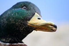 Peeking Duck. Head of Mallard Duck Stock Photos