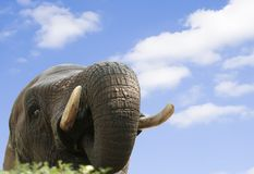Peeking Elephant. An African elephant peeking over a green bush Stock Images