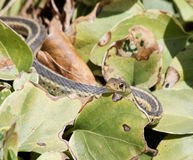 Peeking garter snake Stock Image
