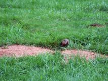 Peeking gopher from burrow entrance. A gopher as he peeks prior to exiting his burrow stock photography