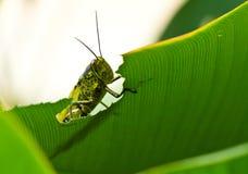 peeking grasshoppe Стоковая Фотография