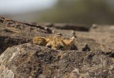 Peeking Lion Cub at Masai Mara National Park royalty free stock images