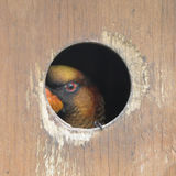Peeking Lorikeet Stock Photo