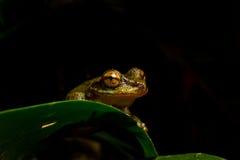 Peeking Mist frog stock photos