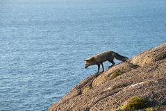 Peeking Over. Curious Fox Peeking over Edge of Cliff with Calm Ocean in Background Stock Photo