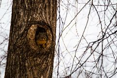 Peeking squirrel stock photography