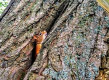 Peeking Squirrel royalty free stock images