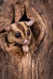 Peeking Sugar Glider. Closeup of a Sugar Glider squirrel peeking out of a tree hole Royalty Free Stock Photography