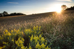 Peeking Sun. Sun just about to set over a field of golden grain Royalty Free Stock Images