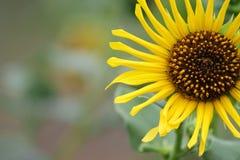 Peeking sunflower Stock Photo