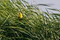 Peeking Yellow Headed Blackbird. Yellow headed blackbird peeking out from the reeds Stock Image