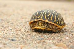 Peeks timidi della tartaruga fuori dalle coperture Immagine Stock