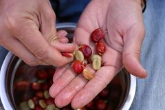 Peel the Coffee Berries. With Hands, get the Beans Royalty Free Stock Photography
