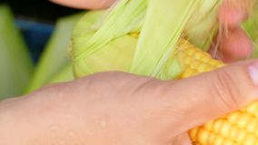 Peel the corn from the leaves. The fingers remove the leaves and hairs from the corn cobs. close-up stock video