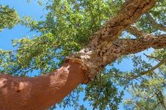 Peeled cork oaks tree Stock Images