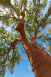 Peeled cork oaks tree Stock Image