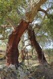 Peeled cork oaks tree Stock Photos