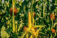 Peeled corn on a field Stock Photos