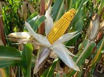 Peeled corncob. A ripe, peeled corncob on the plant in a cornfield Stock Photos