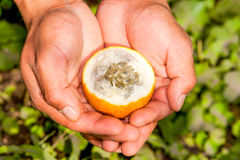 Peeled Granadilla Fruit Stock Image