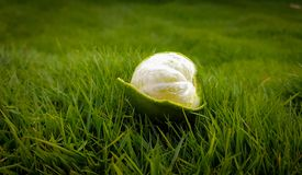 Peeled Green Lime on Green Grasses Stock Photos